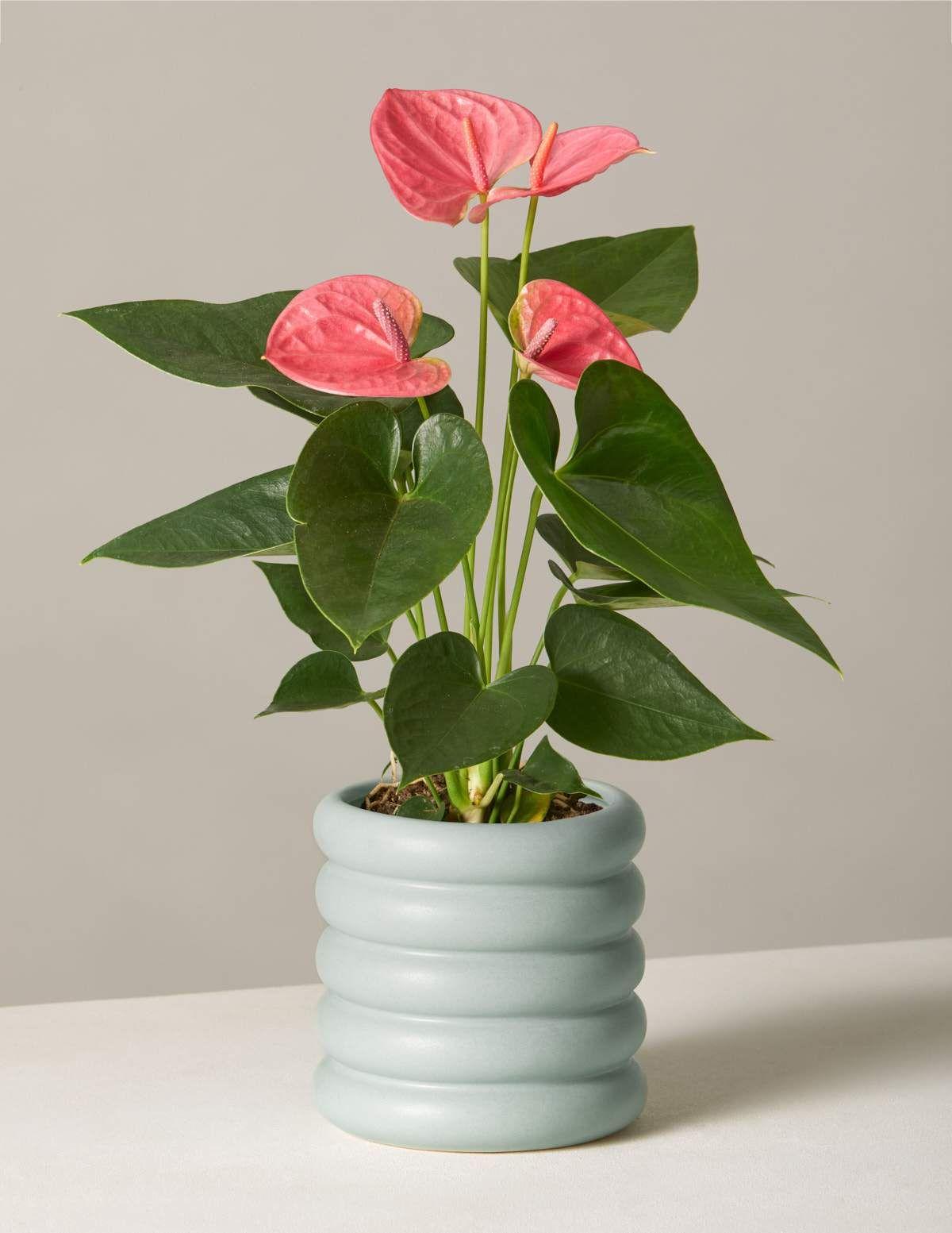 Pet Friendly Plants Monthly Subscription In 2020 Anthurium House Plants Plants