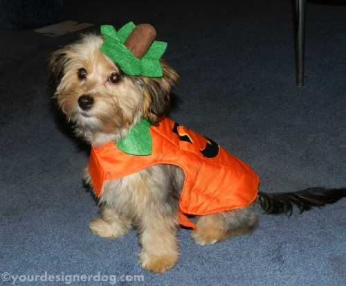 My Little Pumpkin Dog Halloween Costumes Diy Diy Dog Stuff