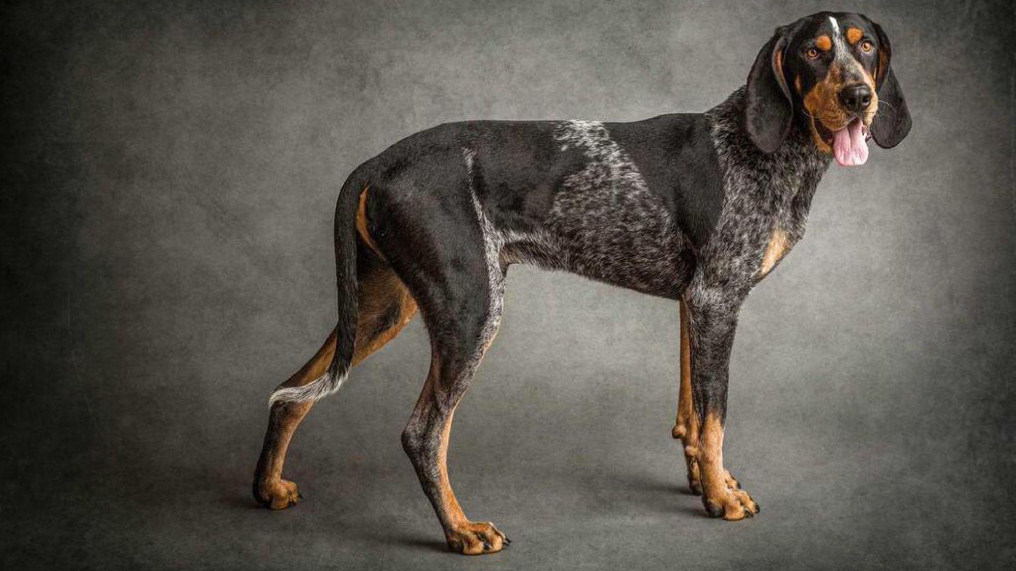 Smokey love! Orange You A Vol? Bluetick coonhound