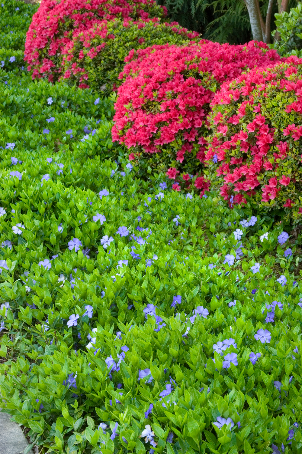 Bowles Common Periwinkle Plants Ground Cover Plants Periwinkle Plant