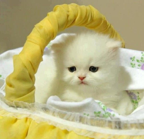 the sweetest baby cat no doubt cats are the big blessings by god cat lovers are always lucky