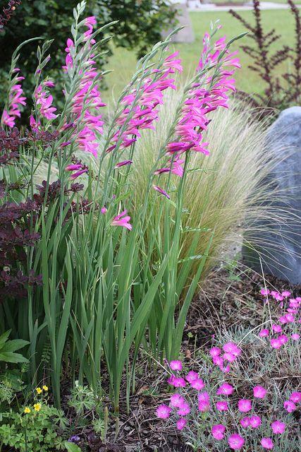 Corn Flags Gladiolus Communis Ssp Byzantinus And Ponytail Grass Nassella Tenuissima Kiesgarten Stauden Dahlien Blumen