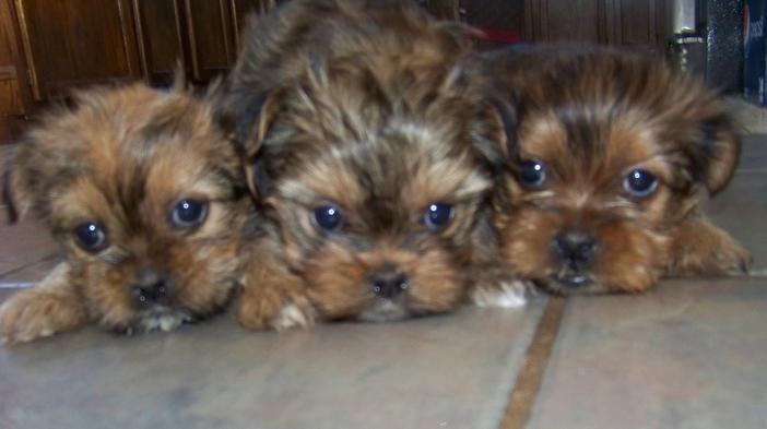 Topoftheridgekennel Contact Shorkie Puppies Animals Friends Dog Holiday