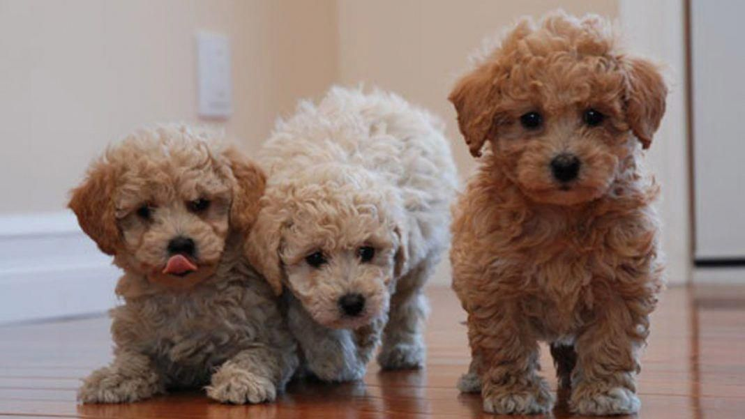 Bichon Poodle Mix Truth About Poochon Dogs Bichon Poodle Mix Poodle Mix Puppies Poodle Puppy