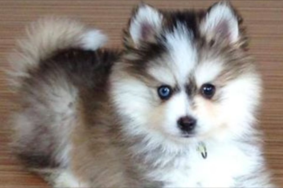 My Perfect Pomsky This Little Jewel Is Named Anna She Is If An April 2014 Litter Unfortunately I Believe She Is Already Babytiere Susse Tiere Pomsky Hund
