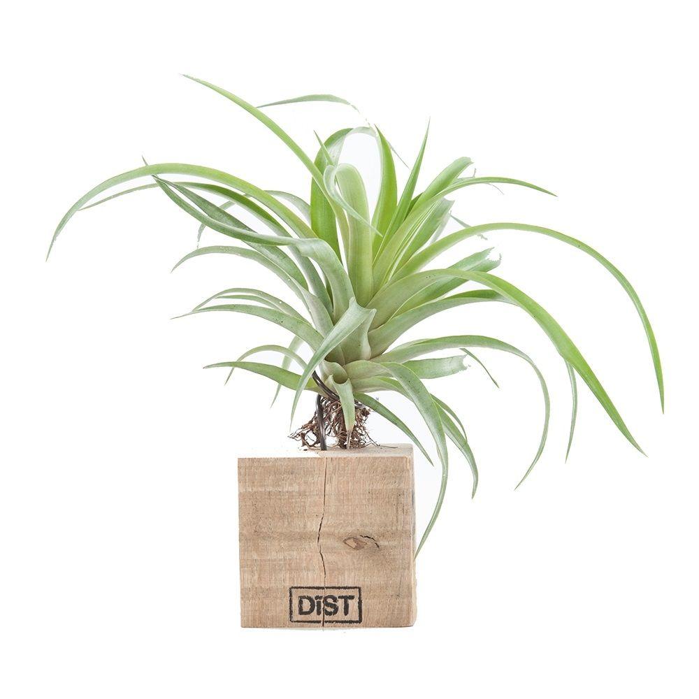 Green Lifestyle Store Kamerplant Tillandsia Airplant - Zwart