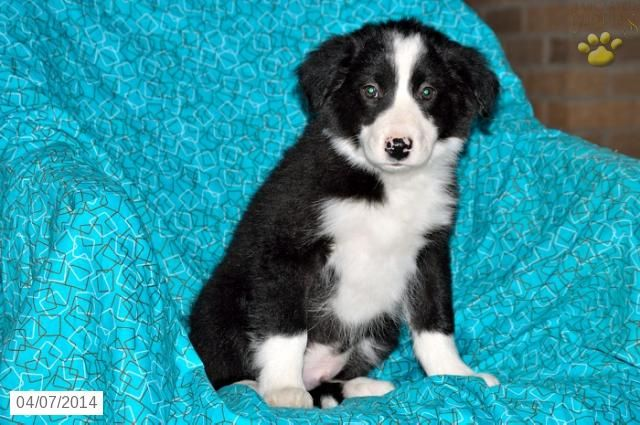 Border Collie Puppies For Sale Collie Puppies For Sale Collie Puppies Border Collie Puppies
