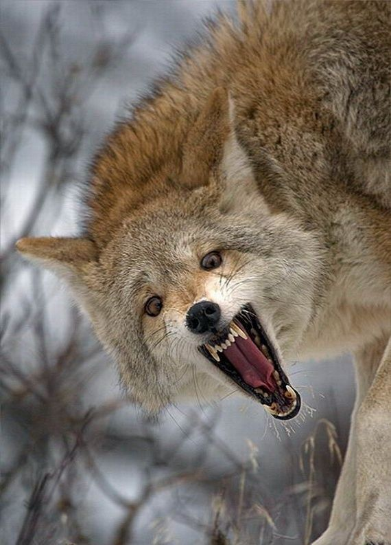 Image result for picture of snarling coyote