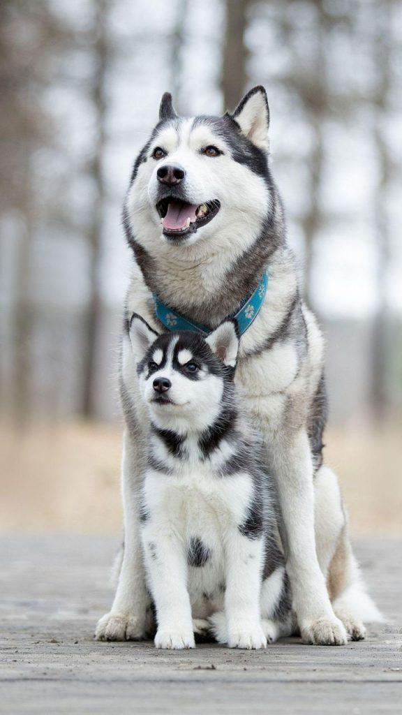 54 So Cute Animal Wallpapers You Can T Help Like 2020 Page 2 Of 54 Veguci Husky Dogs Husky Puppy Siberian Husky