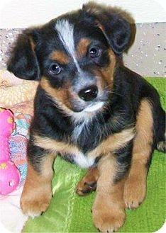 2 19 15 Waupaca Wi Cavalier King Charles Spaniel Beagle Mix