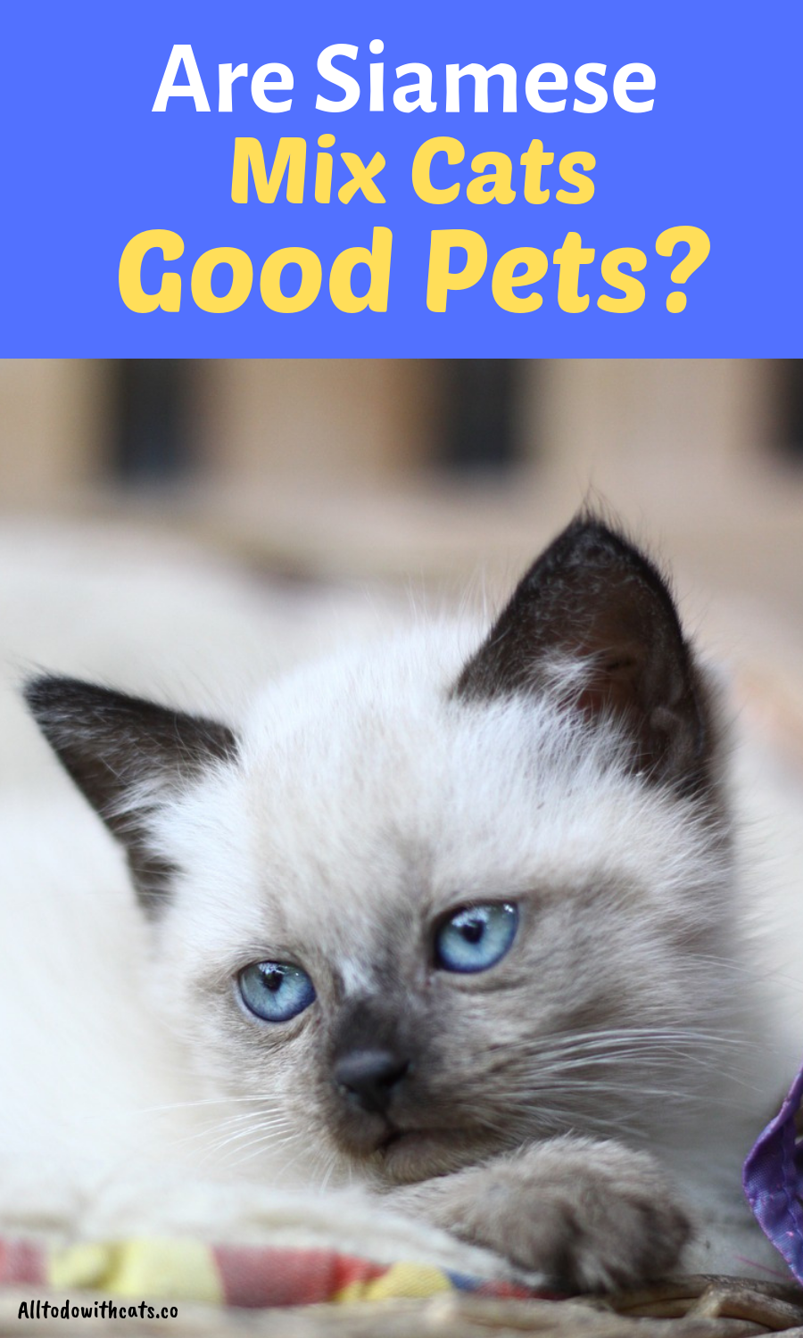 Are You Thinking Of Getting A Mix Breed Siamese You Ll Find Everything You Need To Know Including Personality Traits How Much They Cats Pets Siamese Kittens