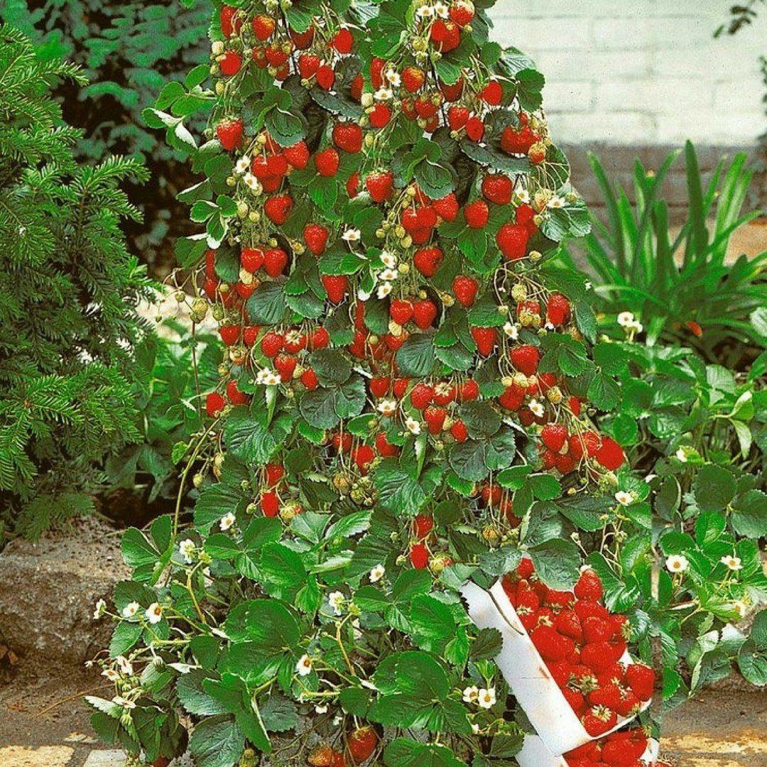 100 Pcs Climbing Strawberry Fruit Seeds Growing Tomatoes 400 x 300