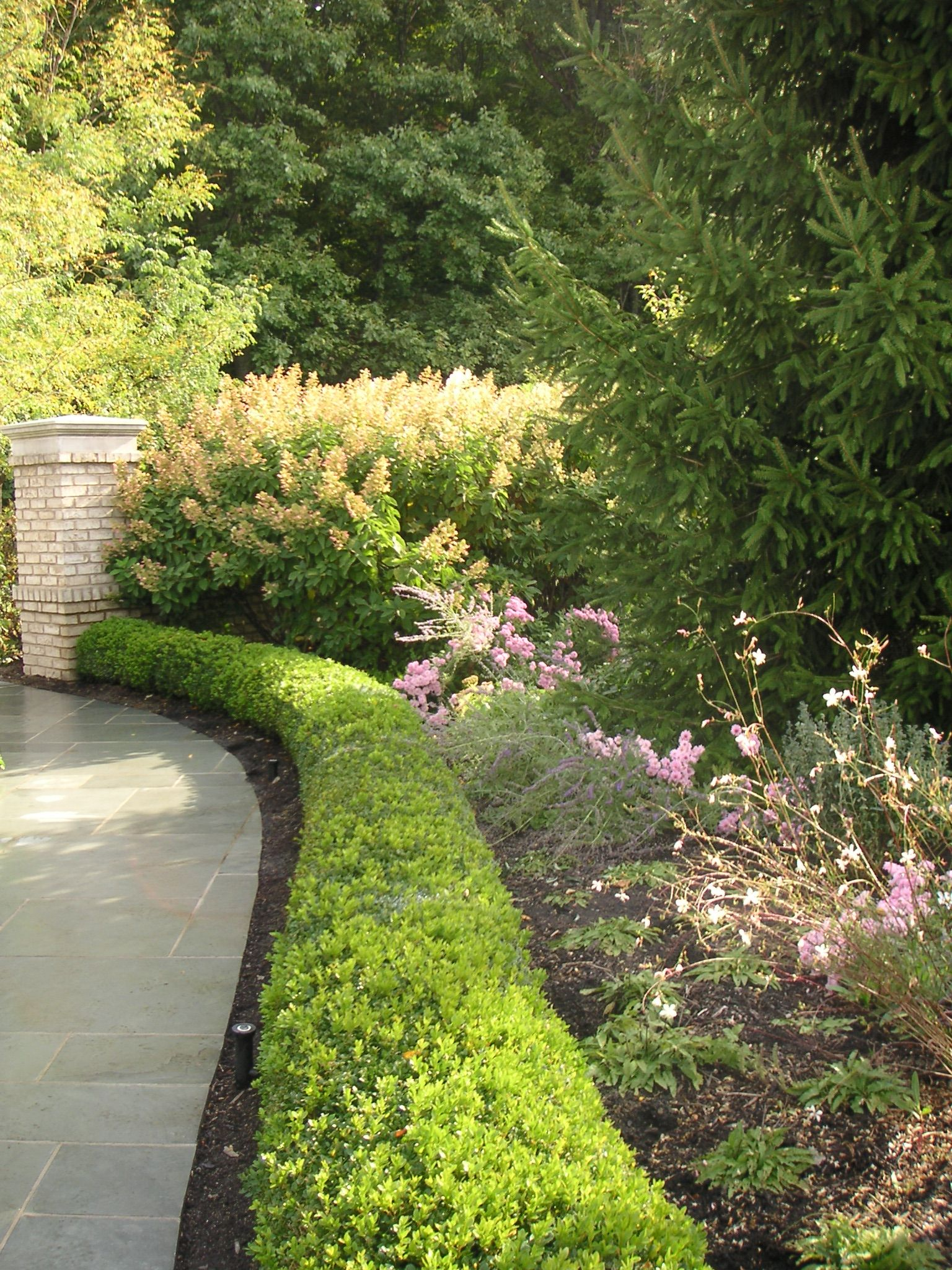 Boxwood Hedge containing russian sage and mums Landscape