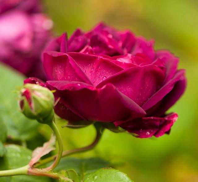 Roi de Siam est un grimpant (3-4 m) au fort parfum fruité. Ses fleurs élégantes, pleines, varient du rouge carminé au carmin pur. Il requiert une situation chaude et ensoleillée pour donner une floraison optimale, qui se poursuit jusqu'à l'automne si l'on ne néglige pas les arrosages en été. Thé. Laffay, 1825.