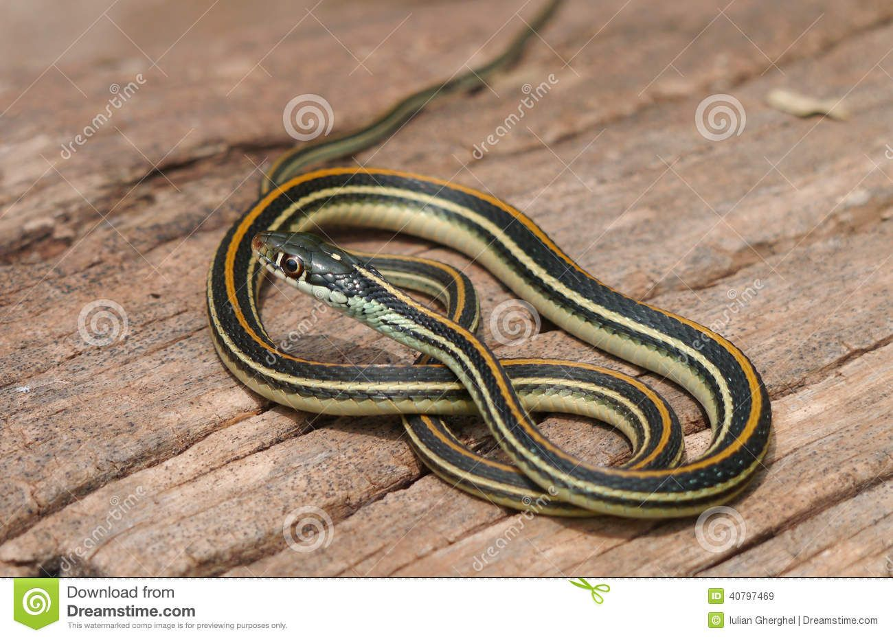 Pin by Claire Taylor on garter snake | Pinterest