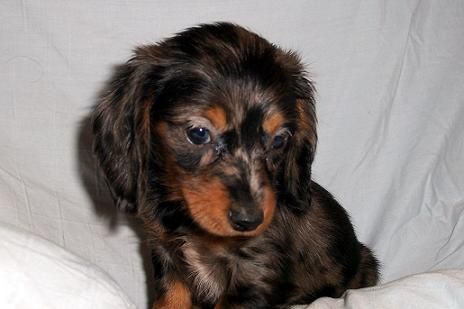 Dachshund Dachshund Long Haired Dog Breed Pictures Dapple