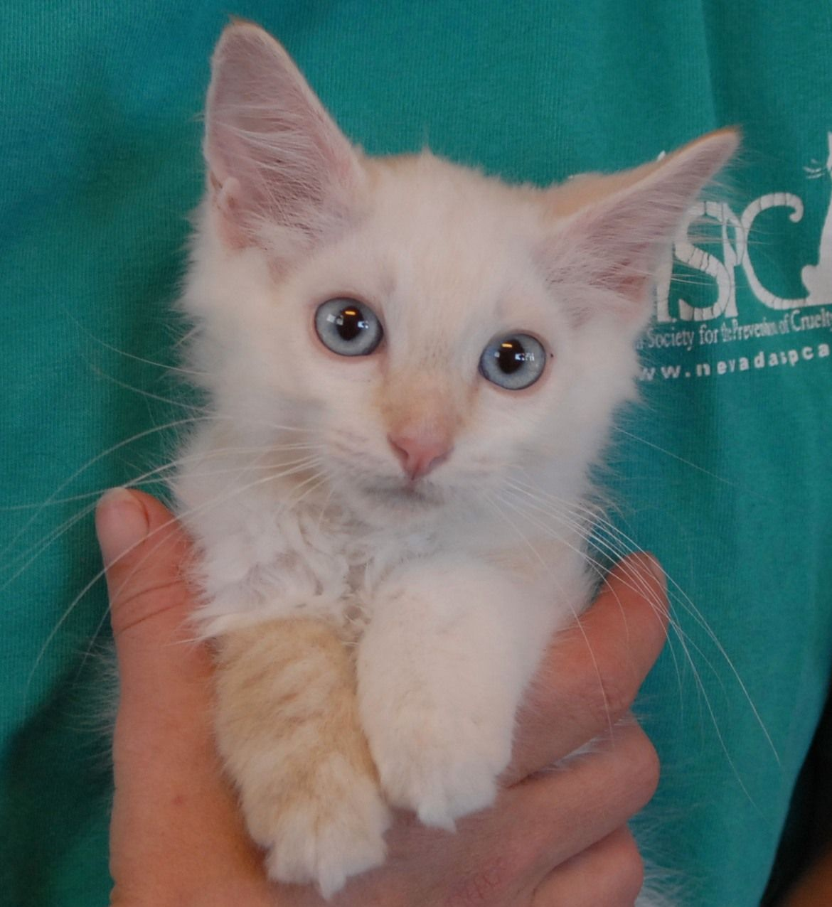 Brennan Is A Super Cute Flame Point Siamese Mix Kitten Now Ready For Adoption At Nevada Spca Www Nevadaspca Org Brennan Was 1 Of Kitty Animal Rescue Kitten