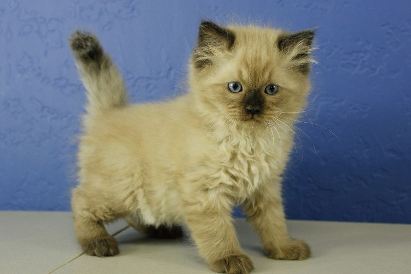 Seal Point Mink Ragdoll Kitten Ragdoll Cats For Sale Ragdoll