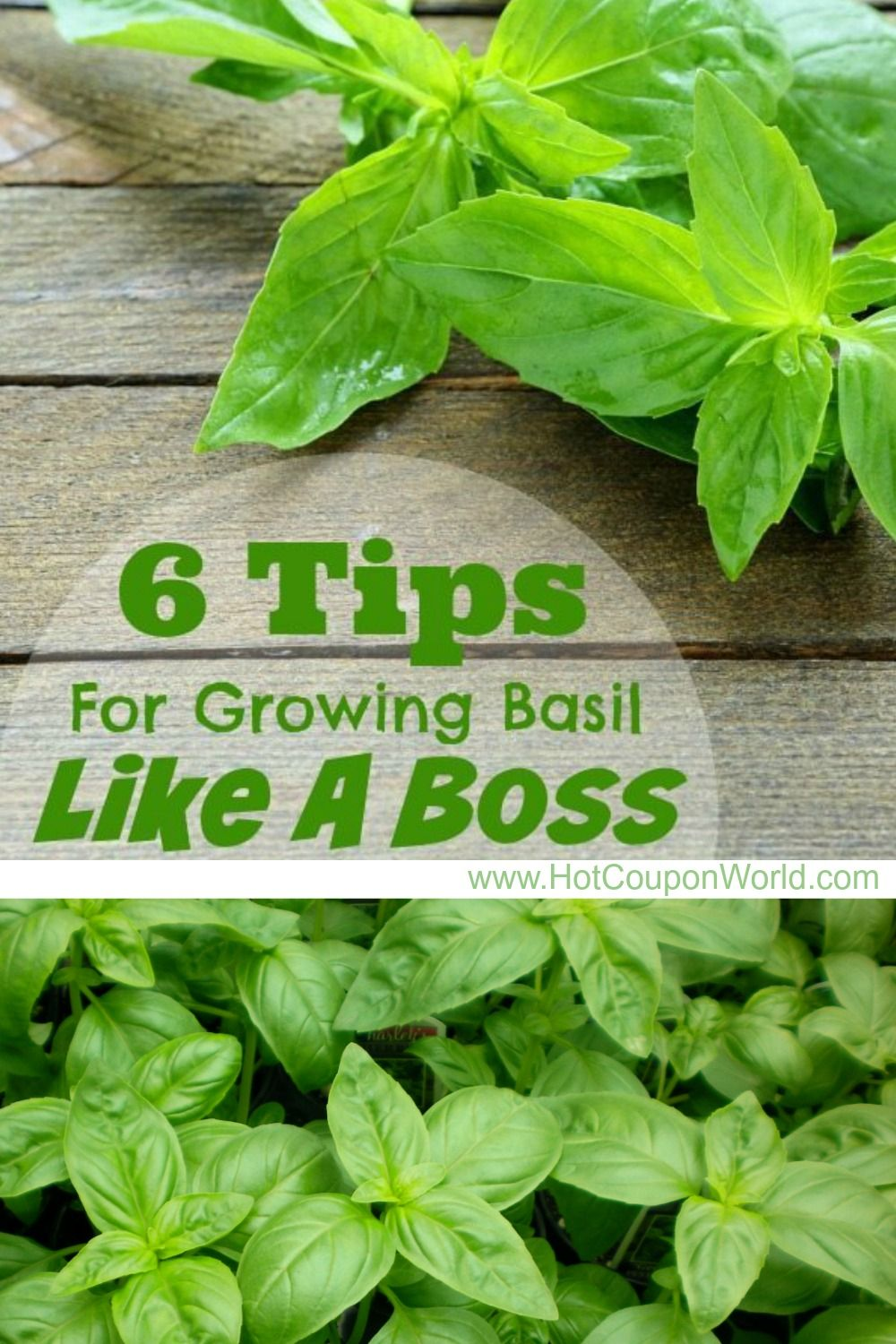 6 Tips For Growing Basil Like A Boss In 2020 Growing Basil
