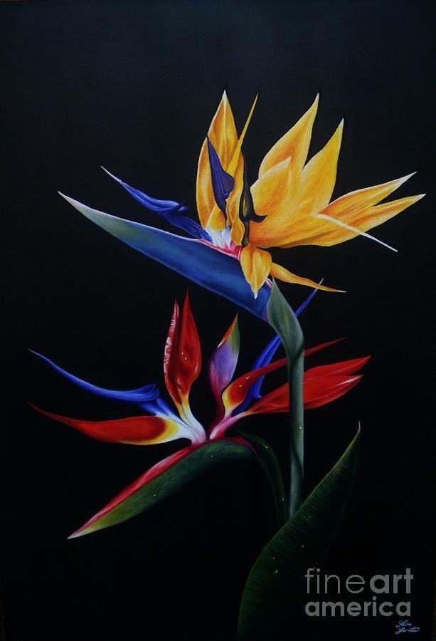 imagenes de flores aves del paraiso | Calas y Aves del paraiso ...