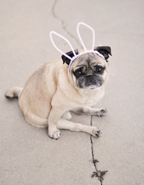 What Isn T To Love Cute Bunny Pictures Pugs Cute Pugs