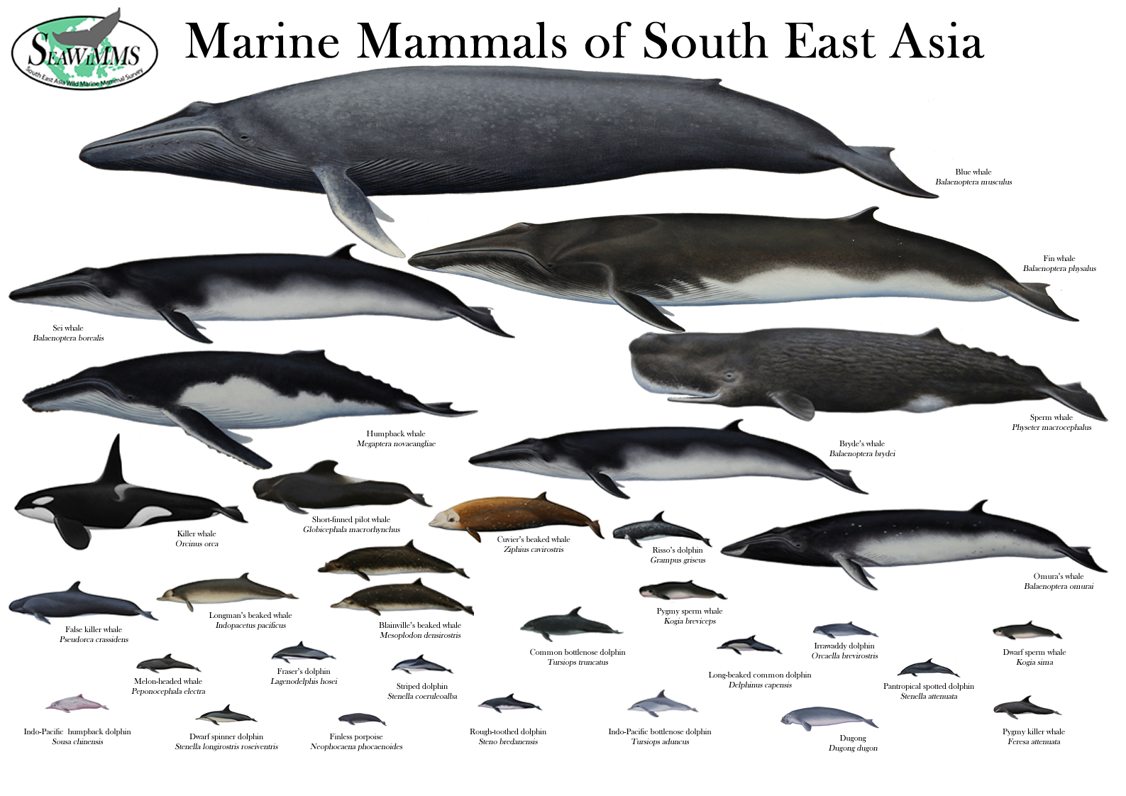 Whales of SE Asia | Whales - Ocean Leviathans | Pinterest