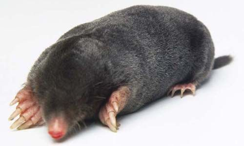 Moles loves gardens, and they settle there.Learn more facts,pictures, videos, photos, info about mole and how to get rid these pests