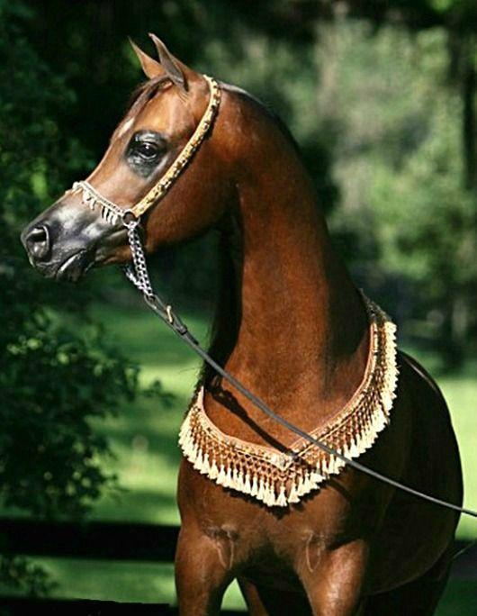 Arabian stallion, Sovereign. photo: Brandy.