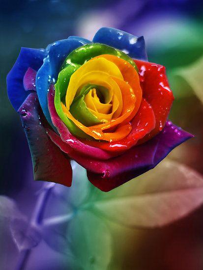 Rainbow Rose With Images Rainbow Roses Rainbow Flowers