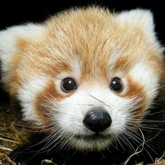 Panda miniatura