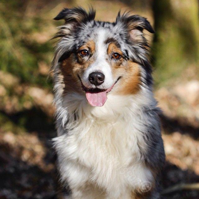 Australian Shepherd Perros Animales Bichos