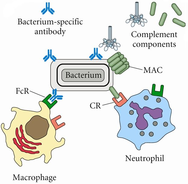 the complement system in microorganisms We will now take a closer look at the 3 pathways of the complement system the complement system: the classical complement bacteria and.