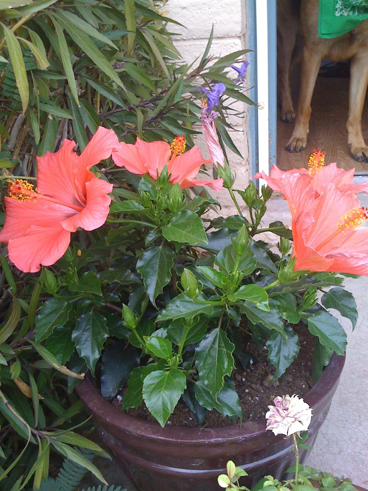 photos of hibiscus in pots on patio