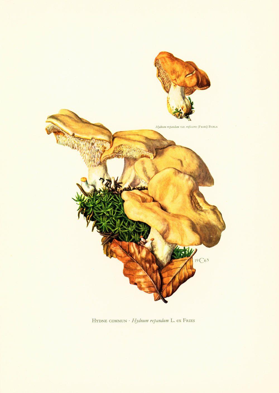 1962 Hedgehog Mushroom. Hydnum repandum. Antique Print Mushrooms ...