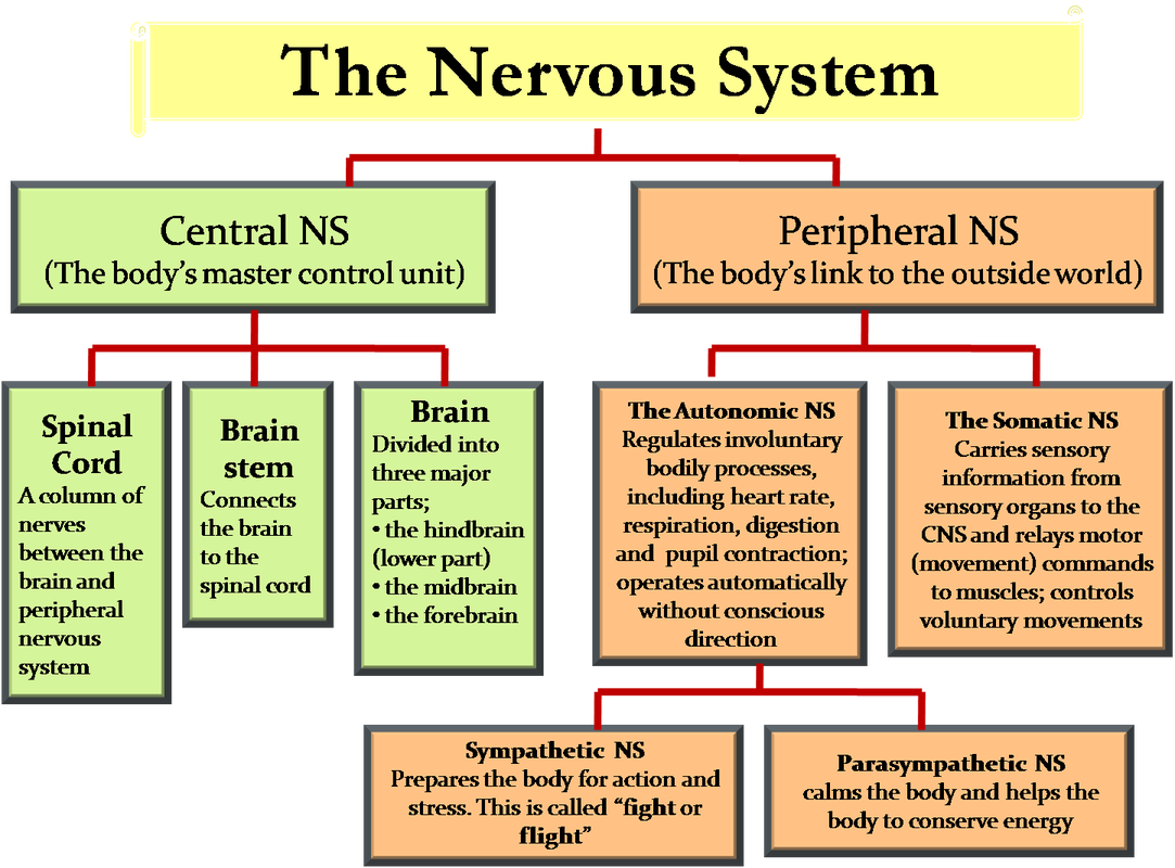 The nervous system psychology and neuroscience pinterest the nervous system ccuart