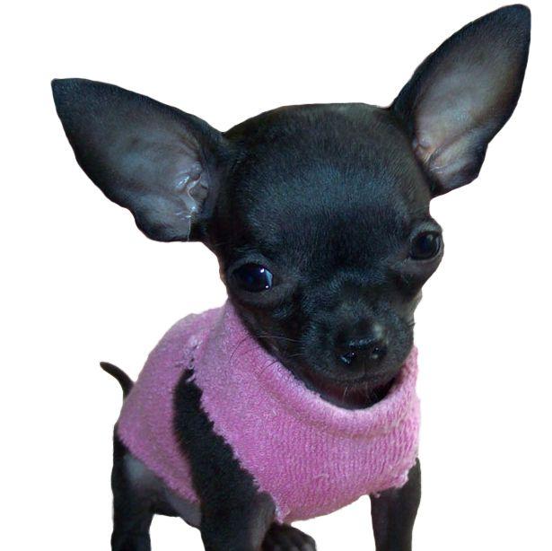 Deer Head Chihuahua Puppies