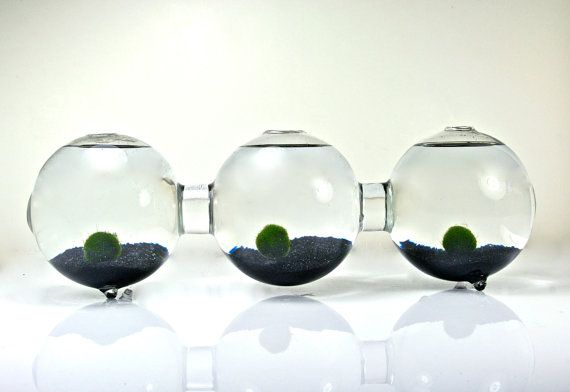 Marimo Moss Ball Three Globe Aquarium // Three Connected Bio Globe,Three Glass Orb Terrarium, Glass Orb Decor, Glass Globe Home Decor
