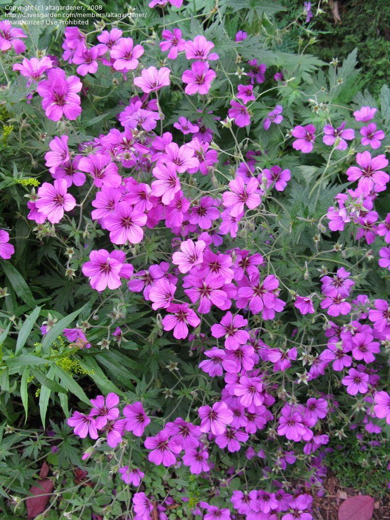 Cranesbill Patricia Geranium Perennial Blooms All Summer