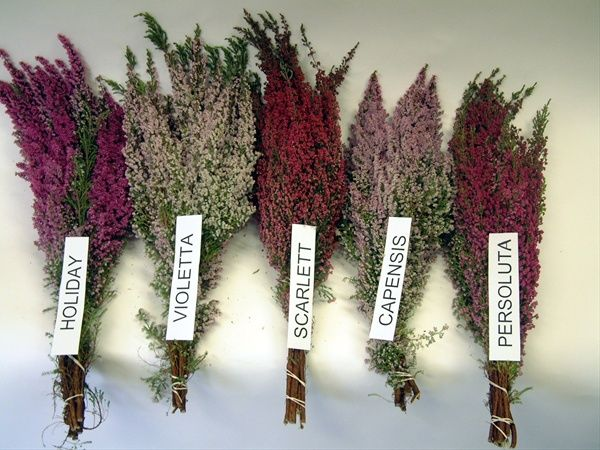 Some Lovely Varieties Of Heather Erica Asst Varieties Hot Pink Pink And Lavander Http Www Sierraflowerfinder Com Heather Flower Flowers Wedding Flowers