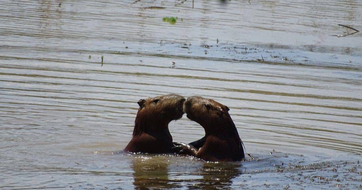 Casal de capivaras 'troca beijos' em parque de Jundiaí