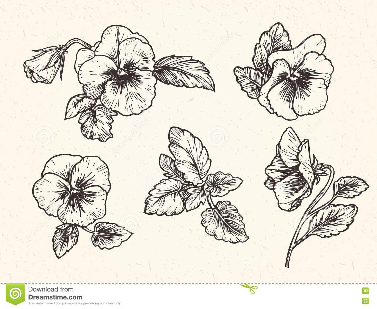 Hand Drawn Pansy Flowers Stock Vector Illustration Of Botanical 74631615 With Images Pansies Flowers Violet Flower Tattoos Pansy Tattoo