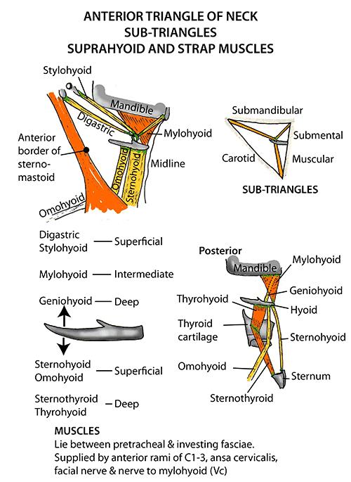 Instant Anatomy - Diagram   Anatomia   Pinterest   Anatomy