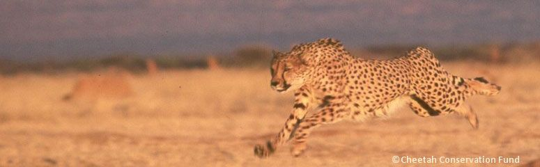 Cheetah Conservation Fund Namibia Its Strategy To Save The Wild Cheetah Is A Three Pronged Process Of Research Cons Conservation Animal Species Cheetah