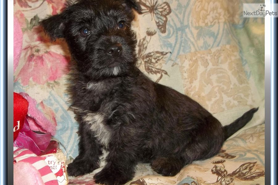 Yorkshire Terrier Yorkie Puppy For Sale Near Tallahassee Florida Aaf8d5a3 C9e1 Puppies Yorkie Puppy For Sale Yorkie Puppy