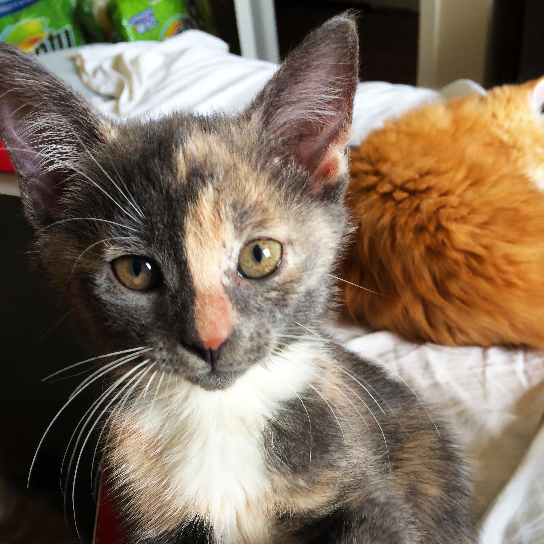 Dilute Calico Angel Kitten In 2020 Calico Kitten Kitten Toys Best Kitten Toys