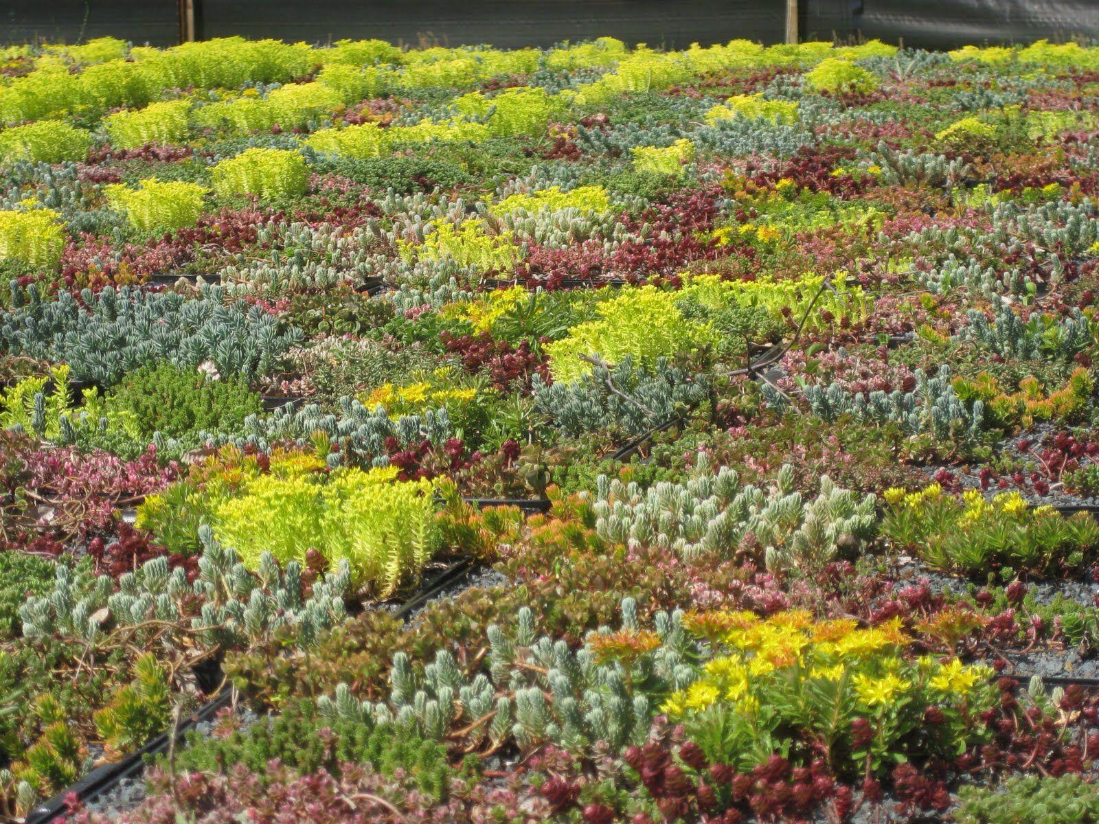 Rooftop Sedum Garden Ground Cover Plants Landscape