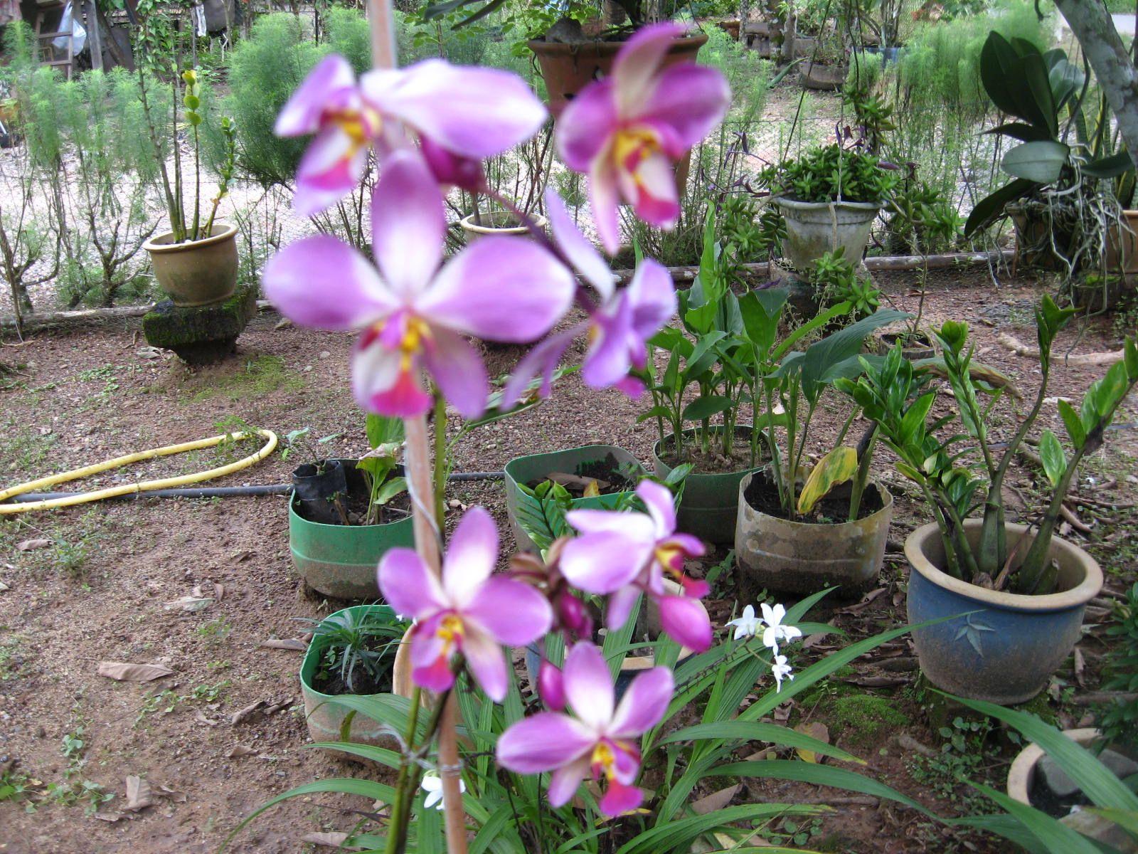 Gambar Bunga Orkid Butterfly Berbagai pertumbuhan