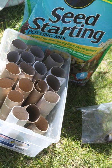 starting seeds in toilet paper rolls - put them right in the ground and they will biodegrade!