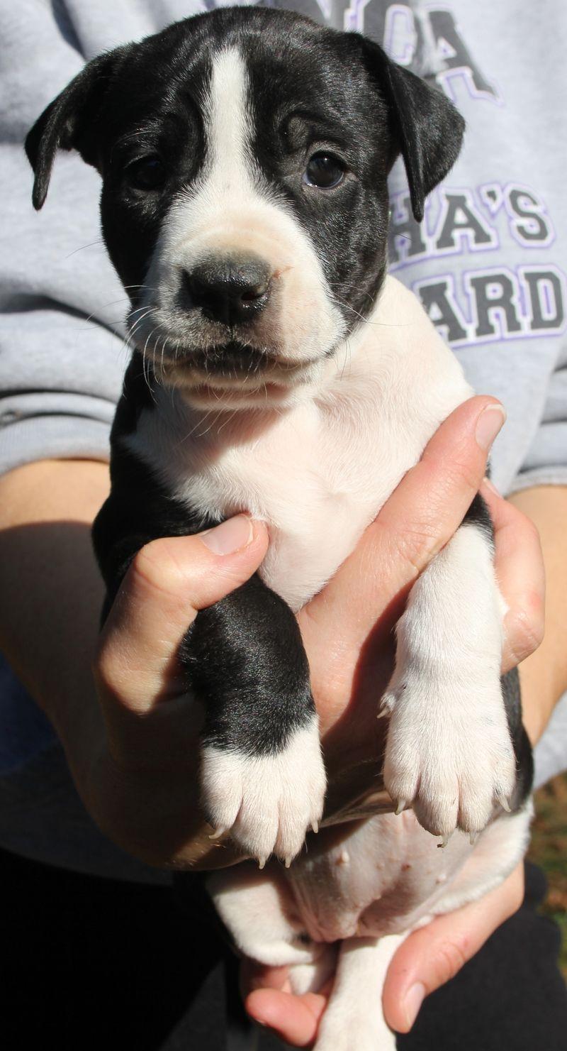 Adopt Nellie on Adoption, Pup, Border collie
