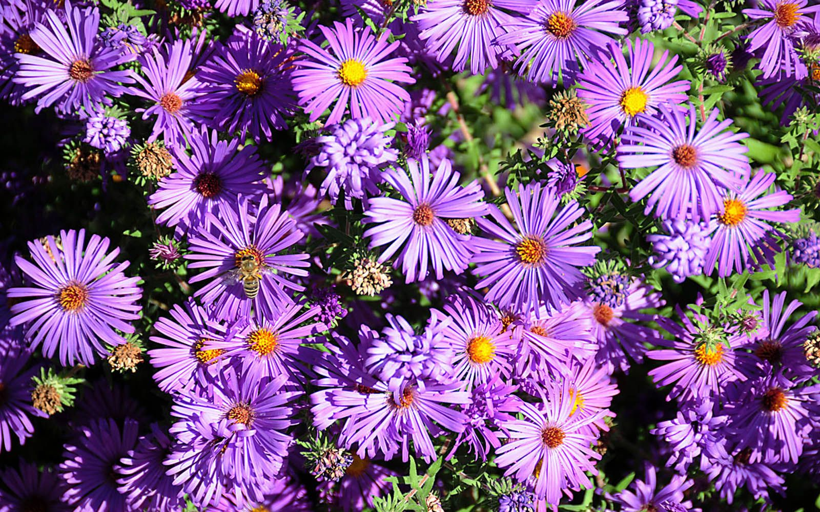 Xs Wallpapers Hd Aster Flowers Wallpapers Aster Flower Flower Wallpaper Flowers